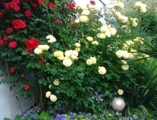Rosen-Sommer.jpg