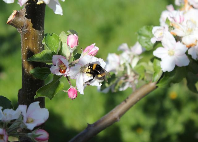 Obstbau-Ligges-Apfelbluete.jpg